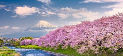 Japonsko a oslava kvetoucích třešní